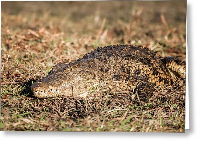 Seeking Rest Greeting Cards - Nile Crocodile on the bank of the Chobe Greeting Card by Jacques Jacobsz