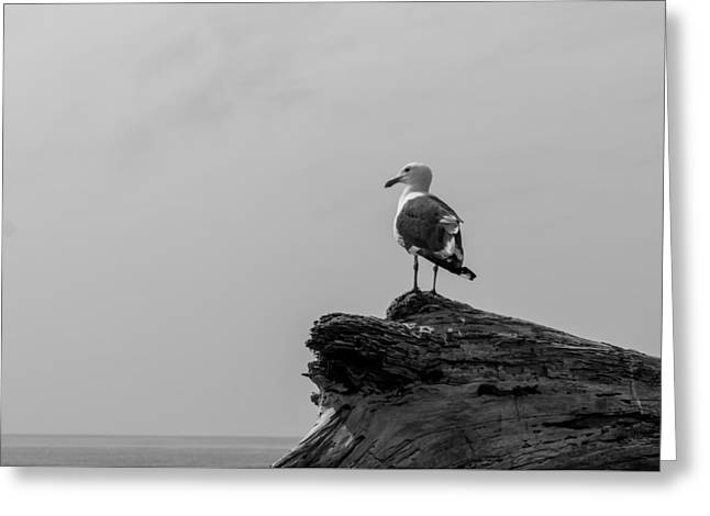 Sea Birds Greeting Cards - Gull on Driftwood BW Greeting Card by Patti Deters