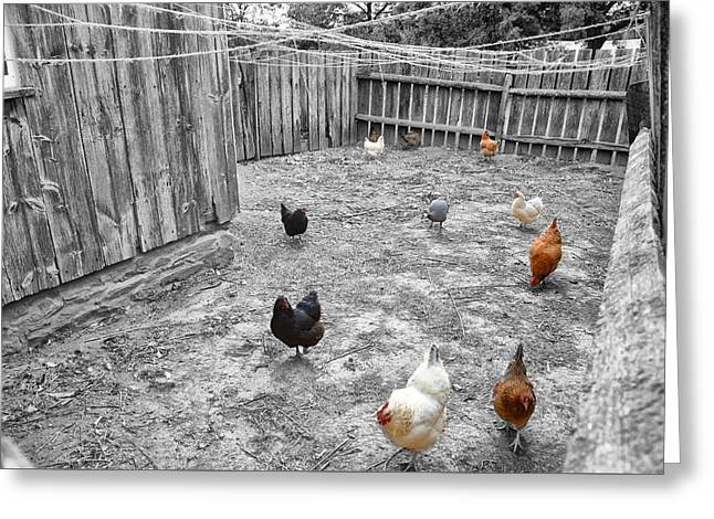 Barn Yard Greeting Cards - Nobody Here But Us Chickens Greeting Card by Bill Cannon