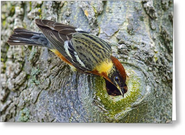Wood Warbler Greeting Cards - Nobody Home Greeting Card by Tony Beck