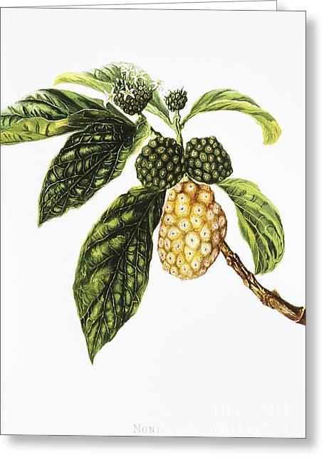 Hawaiian Vintage Art Greeting Cards - Noni Fruit Art Greeting Card by Hawaiian Legacy Archive - Printscapes