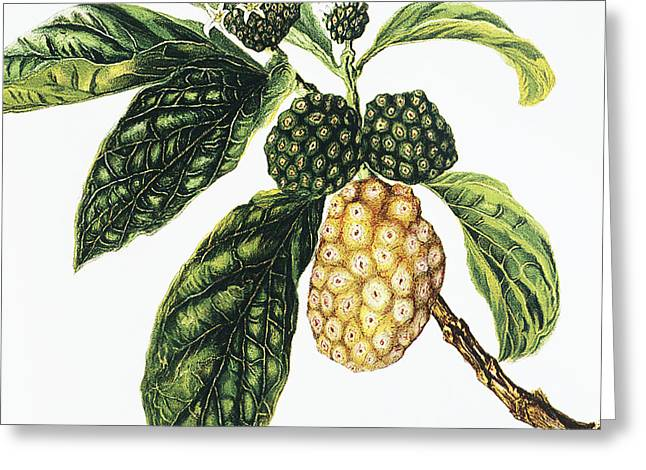 Fruit Tree Art Greeting Cards - Noni Fruit Greeting Card by Hawaiian Legacy Archive - Printscapes