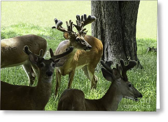 Bucks In Velvet Photograph Greeting Cards - Nontypical Bachelor Whitetail Deer Greeting Card by TAPS Photography