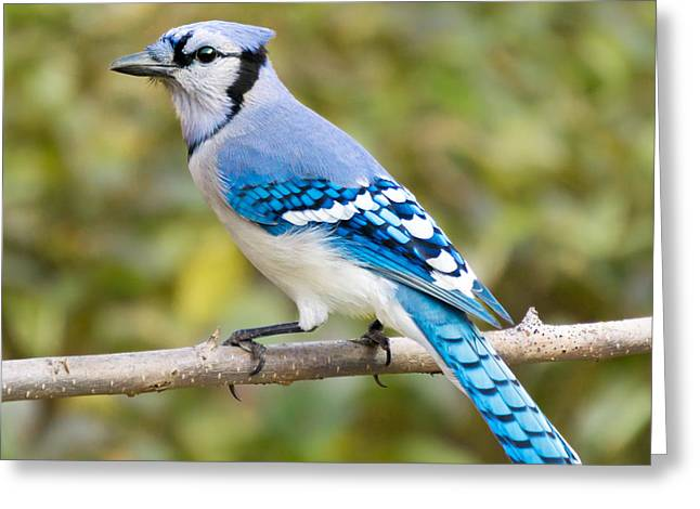 North American Blue Jay Greeting Card by Jim Hughes
