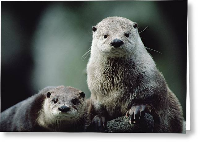 Otter Greeting Cards - North American River Otter Lontra Greeting Card by Gerry Ellis