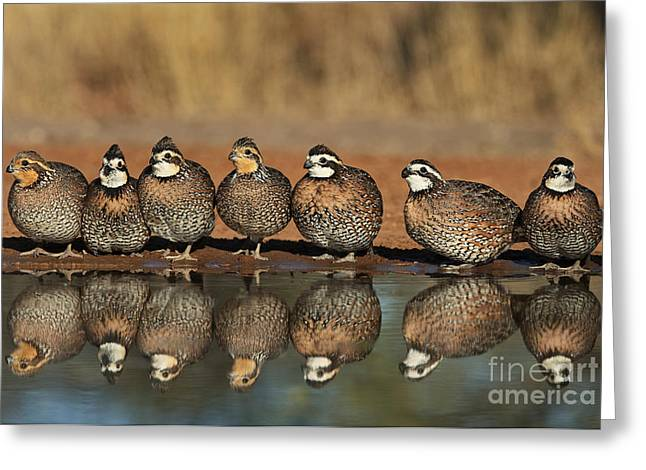 Dave Greeting Cards - Northern Bobwhites Colinus Virginianus Wild Texas Greeting Card by Dave Welling