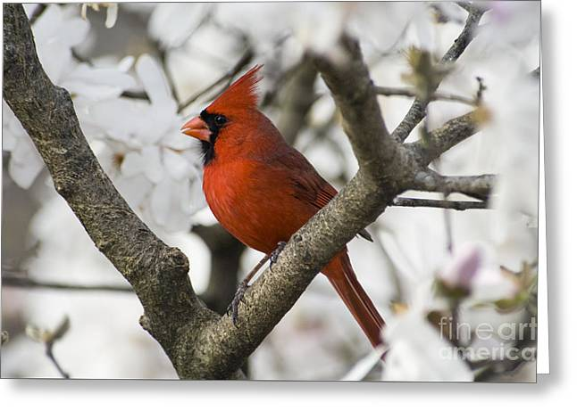 Northern Cardinal And Magnolia 2 - D009893 Greeting Card by Daniel Dempster