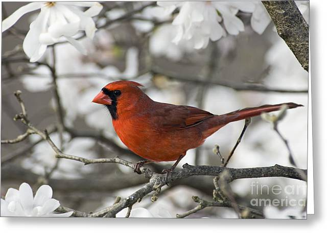 Northern Cardinal And Magnolia 3 - D009896 Greeting Card by Daniel Dempster