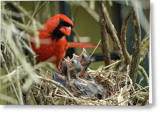 Northern Cardinal Day 8 Greeting Card by Everet Regal