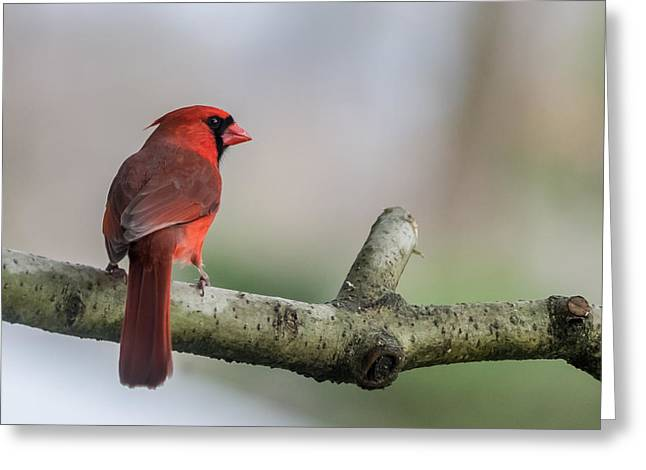 Northern Cardinal Photo Greeting Cards - Northern Cardinal on Branch New Jersey Greeting Card by Terry DeLuco