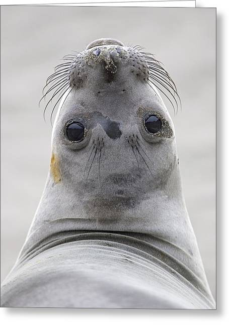 Best Sellers -  - Elephant Seals Greeting Cards - Northern Elephant Seal Looking Back Greeting Card by Ingo Arndt