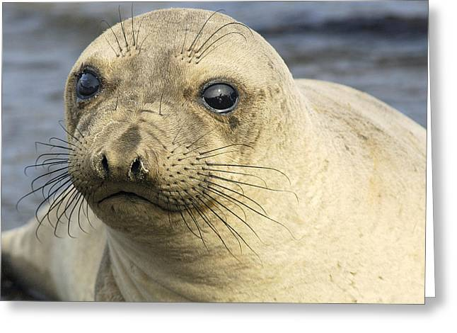 Best Sellers -  - Elephant Seals Greeting Cards - Northern Female Elephant Seal  Greeting Card by Eyal Nahmias