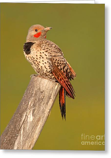 Flicker Greeting Cards - Northern Flicker Looking Back Greeting Card by Max Allen