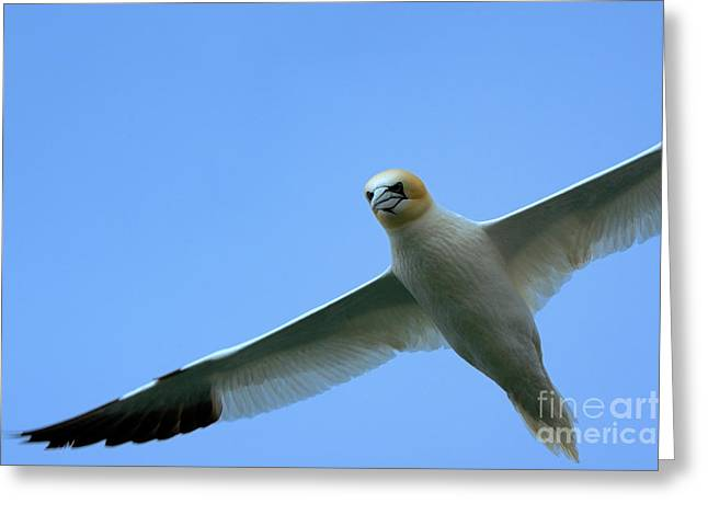 Northern Gannet flying through blue skies Greeting Card by Sami Sarkis