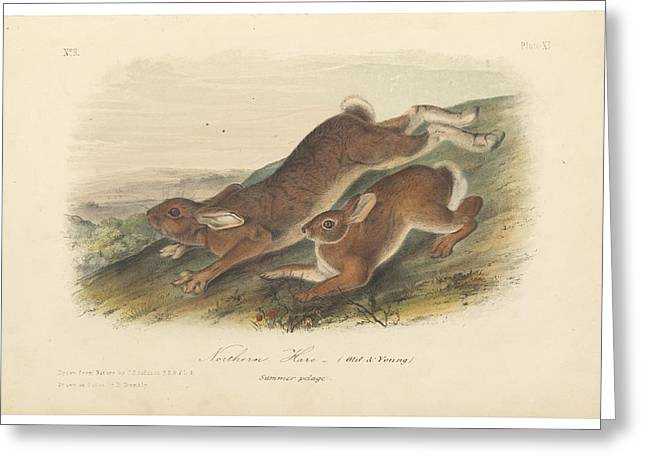 Animals Greeting Cards - Northern Hare Greeting Card by John James Audubon