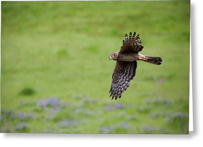 Hawks Greeting Cards - Northern Harrier Fly By Greeting Card by Mike  Dawson