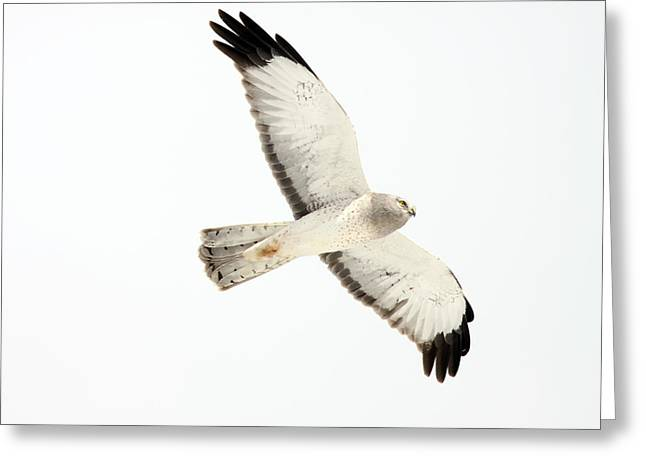 The Hen Greeting Cards - Northern Harrier Hawk, Yukon Greeting Card by Robert Postma