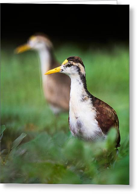 Young Birds Greeting Cards - Northern Jacana Jacana Spinosa Chicks Greeting Card by Panoramic Images