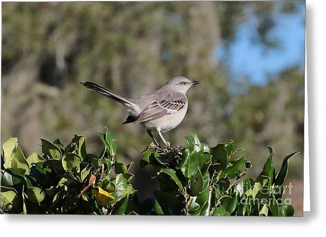 Northern Mockingbird Greeting Card by Carol Groenen