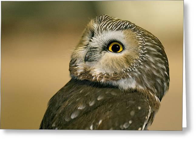 Saw Greeting Cards - Northern Saw-whet Owl Greeting Card by Jim Zablotny