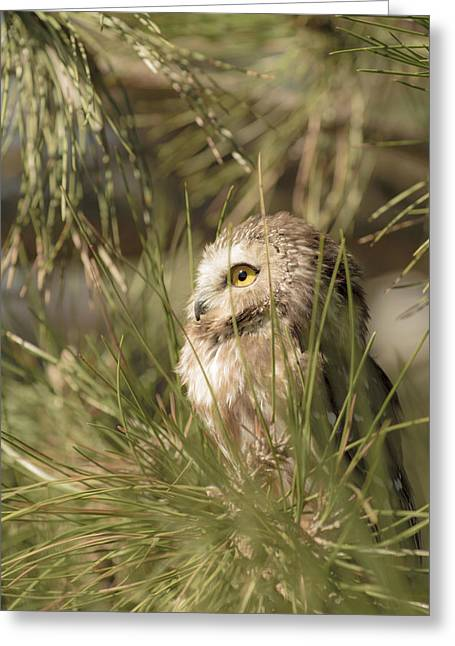 Saw Greeting Cards - Northern Saw-Whet Owl taking in the sun Greeting Card by Tracy Winter