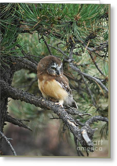 Saw Greeting Cards - Northern Saw-whet Owl Greeting Card by Timothy Flanigan