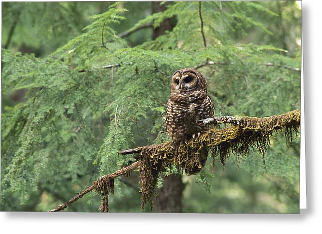 Old Growth Greeting Cards - Northern Spotted Owl Strix Occidentalis Greeting Card by Gerry Ellis