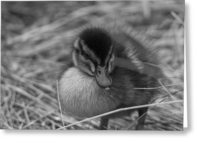 Baby Bird Greeting Cards - Not so Ugly Duckling bw Greeting Card by Chris Whittle