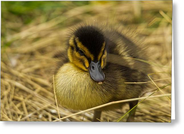 Baby Bird Greeting Cards - Not so Ugly Duckling Greeting Card by Chris Whittle