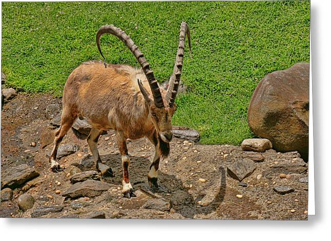 Zoology Greeting Cards - Nubian Ibex Greeting Card by Allen Beatty