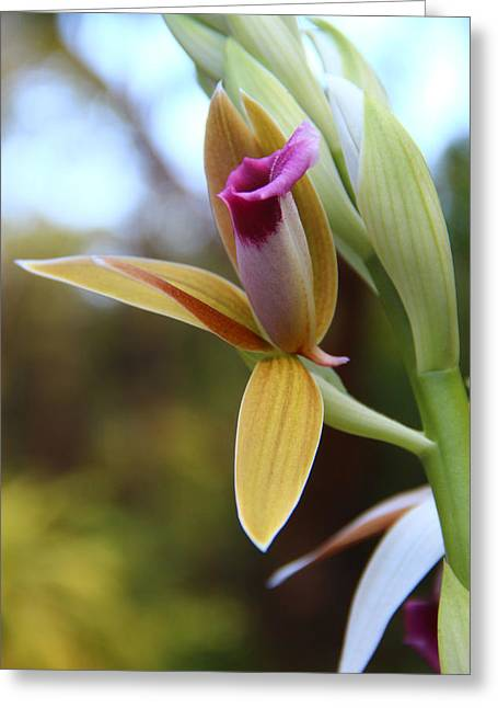 Kerri Ligatich Greeting Cards - Nuns Cap Orchid - 1 Greeting Card by Kerri Ligatich