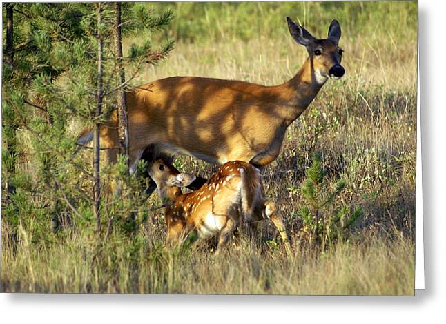 Nursing Fawn Greeting Card by Marty Koch