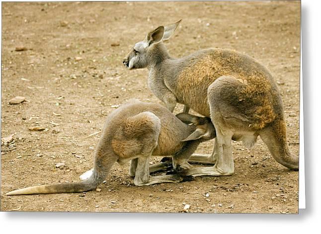 Kangaroo Greeting Cards - Nursing Time Greeting Card by Mike  Dawson