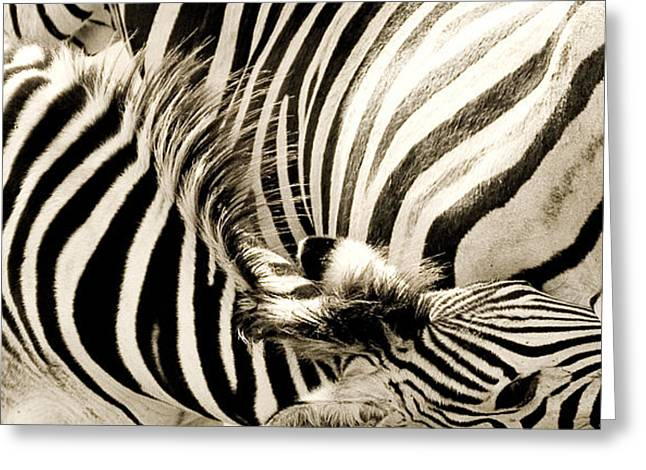Zebra Colt Greeting Cards - Nurture Greeting Card by Tim Booth