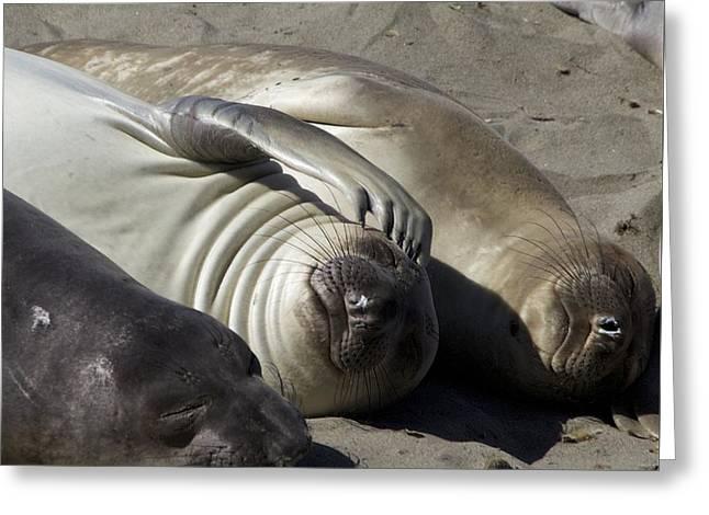 Elephant Seals Digital Greeting Cards - O My Head Greeting Card by Bonita Hensley