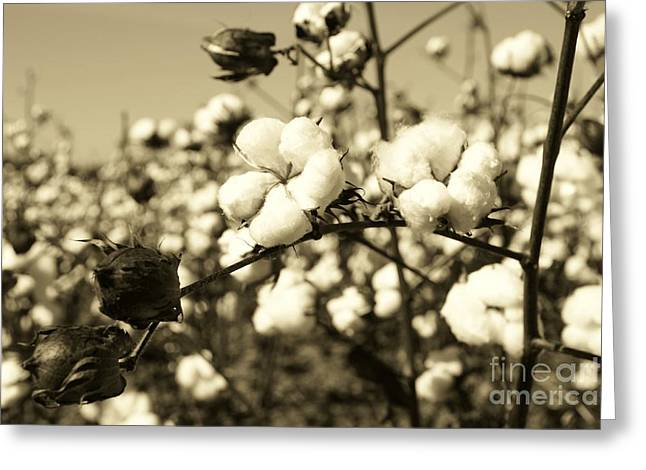 Sepia Greeting Cards - O Sweet Cotton Greeting Card by Sean Cupp