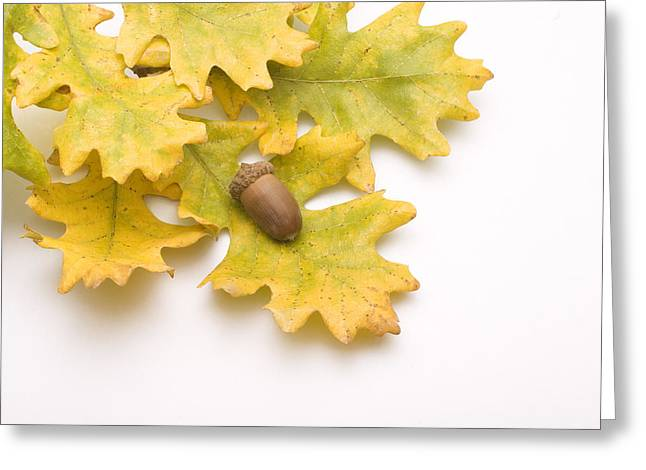Best Sellers -  - Renewing Greeting Cards - Oak Leaves and Acorns Greeting Card by Utah Images