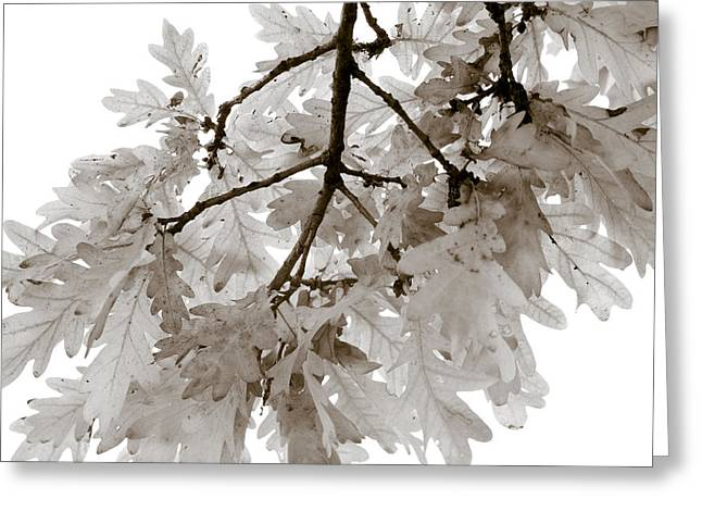 Oak Leaves Greeting Card by Frank Tschakert