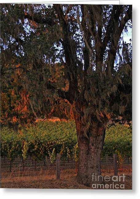 Calistoga Photographs Greeting Cards - Oak Tree and Vineyards in Knights Valley Greeting Card by Charlene Mitchell