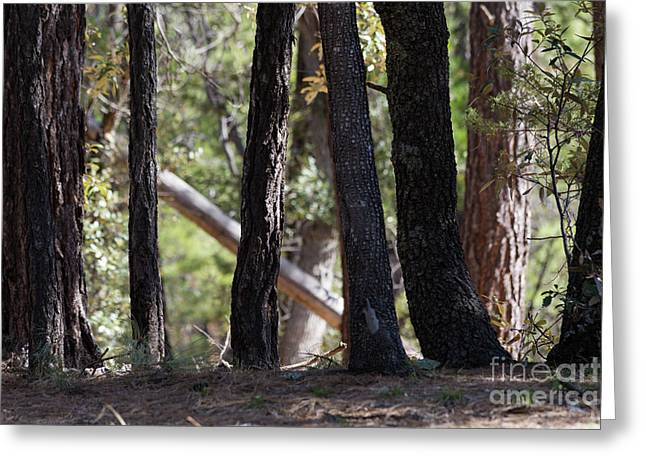 Oak Tree Trunks Greeting Card by Mike Cavaroc