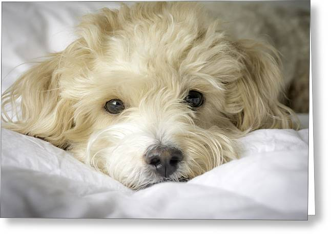 Puppies Photographs Greeting Cards - Oatie Greeting Card by Trish Kusal