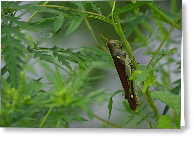 Invertebrates Greeting Cards - Obscure Bird Grasshopper Greeting Card by Aaron Rushin