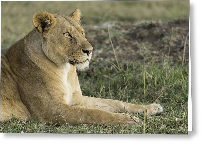 Lioness Greeting Cards - Observant Lioness Greeting Card by Barry Aldridge
