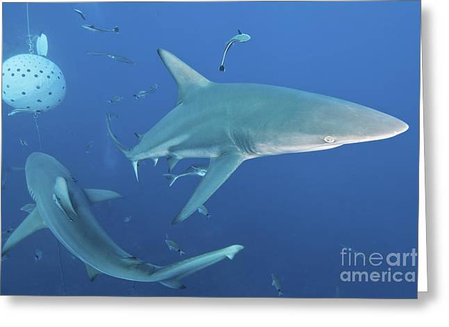 Oceanic Blacktip Sharks Fighting Greeting Card by Mathieu Meur
