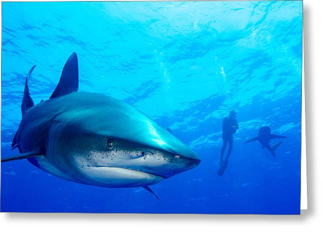 Snorkel Greeting Cards - Oceanic White Tip and Diver in Background Greeting Card by Brent Barnes