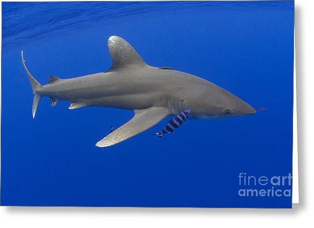 White Shark Greeting Cards - Oceanic Whitetip Shark Greeting Card by Dave Fleetham - Printscapes