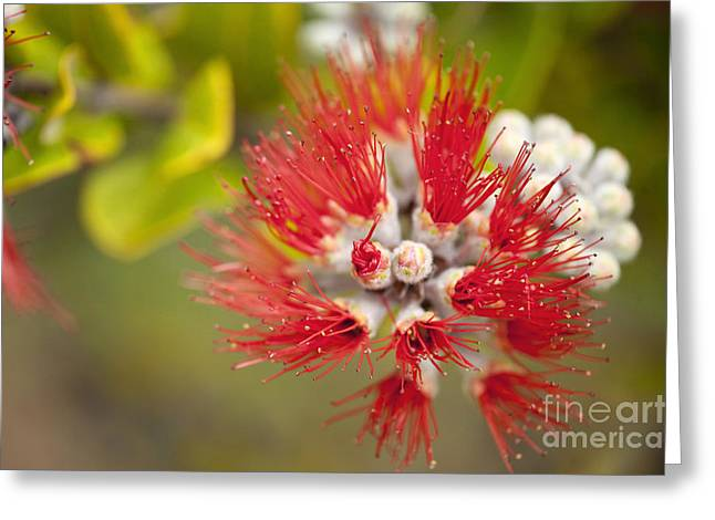 Moist Greeting Cards - Ohia Lehua in Maui Greeting Card by Ron Dahlquist - Printscapes