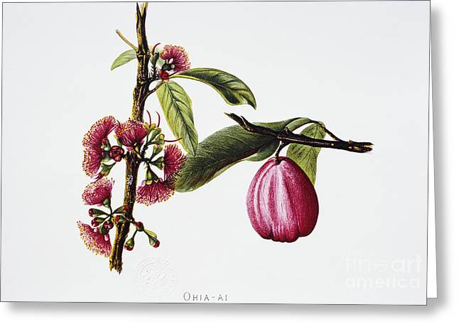 Fruit Tree Art Paintings Greeting Cards - Ohiaai Greeting Card by Hawaiian Legacy Archive - Printscapes