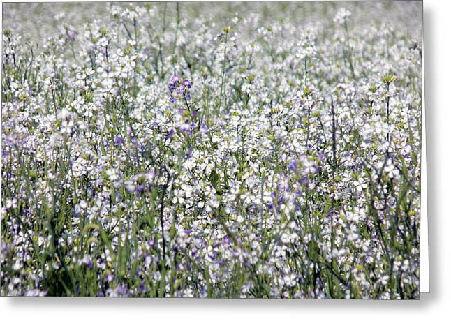 Maine Farms Greeting Cards - Oilseed Radish Blossoms Greeting Card by William Tasker