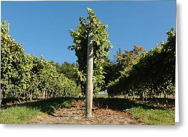 Blue Grapes Greeting Cards - Okanagan Vines Greeting Card by Bill Kellett